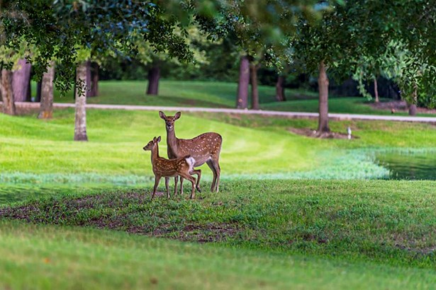 THE RANCH IS FULLY FENCED and is home to a large family of DEER. These heart stoppers roam the ranch and charm the guests as they pose for photos and just be themselves. The APPEAL OF NATURE is hard to capture, but this ranch has it. (photo 2)