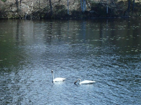 Swans (photo 5)