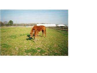 Horses Grazing. (photo 4)