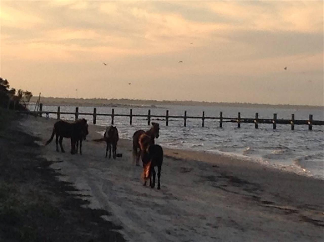 Wild Shackelford Ponies at Cape Lookout, NC