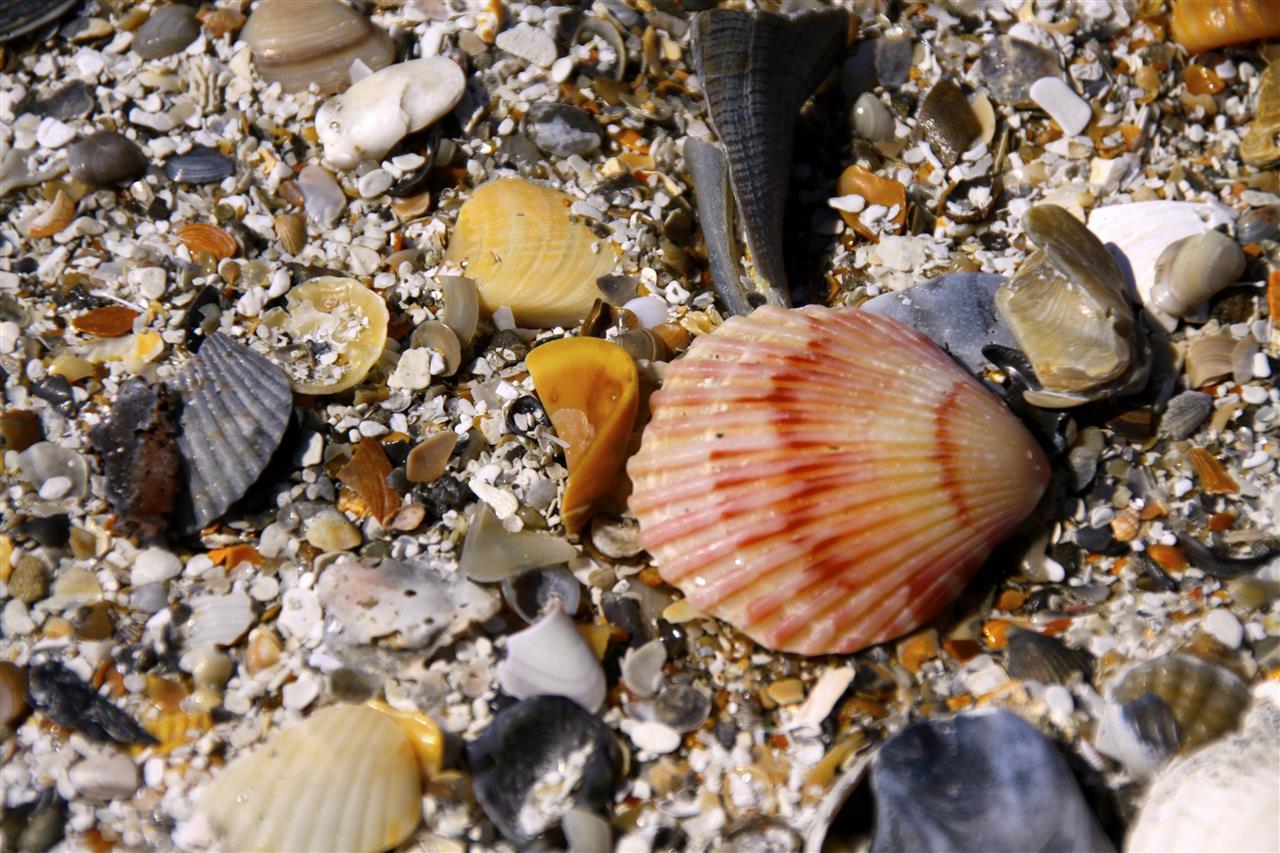 Shelling along the North Carolina Outer Banks, Atlantic Beach, NC