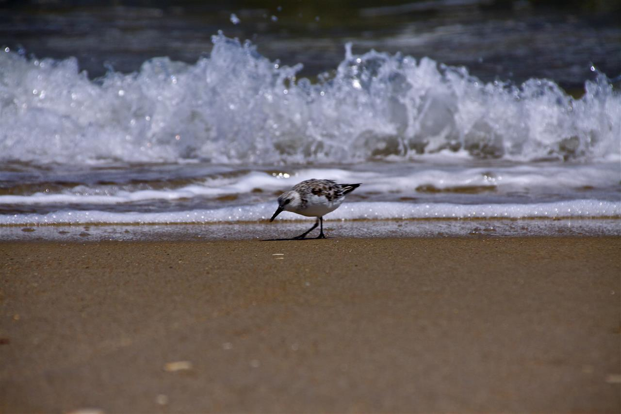 Birds searching the sand for dinner, Cape Lookout NC