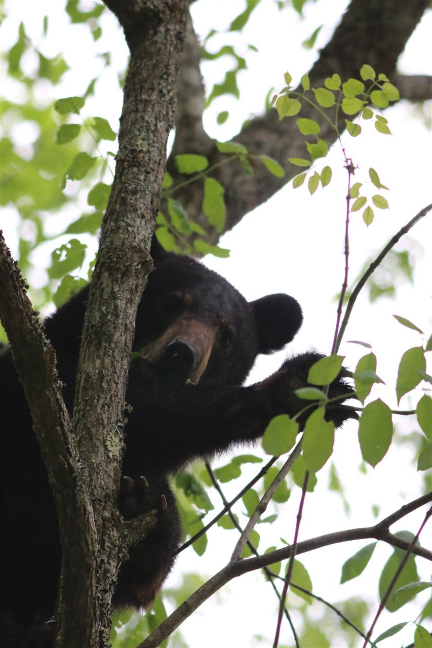 Teenage bear, Cades Cove, Tennessee #CadesCoveTennessee