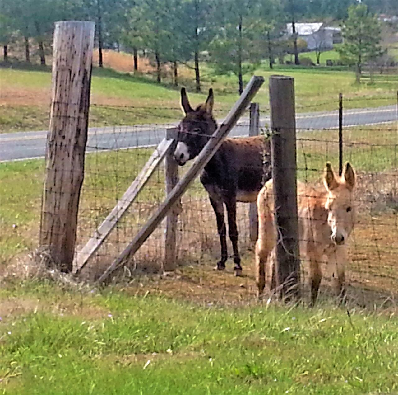 Two donkeys contemplating escape? Bostic, NC