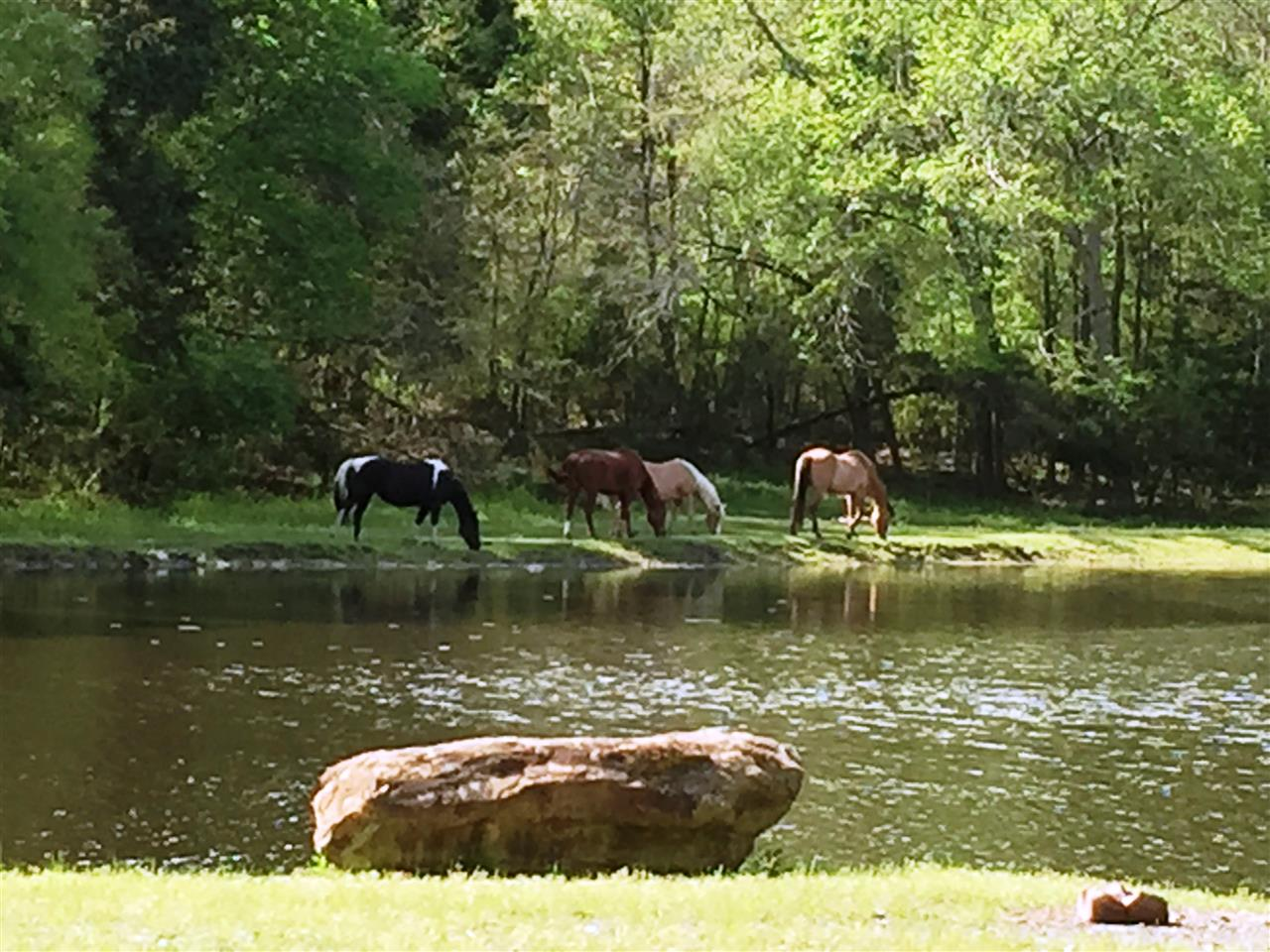 Horses grazing and quenching thirst at farm on the outskirts of Asheboro NC.