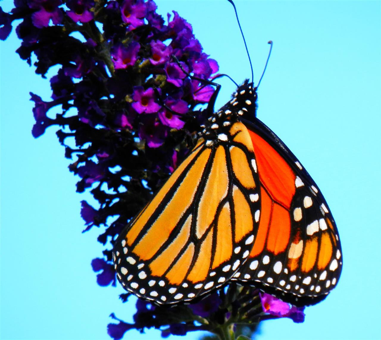 My own backyard comes to life when butterflies visit my butterfly bush.