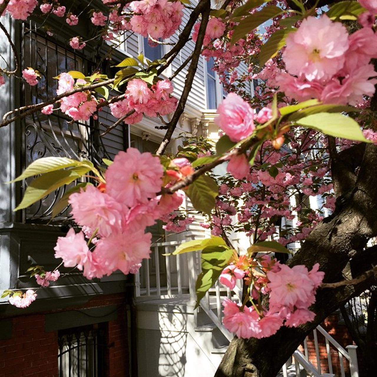 Cherry Blossoms #parkslope #ExploreYourHood #LeadingRElocal