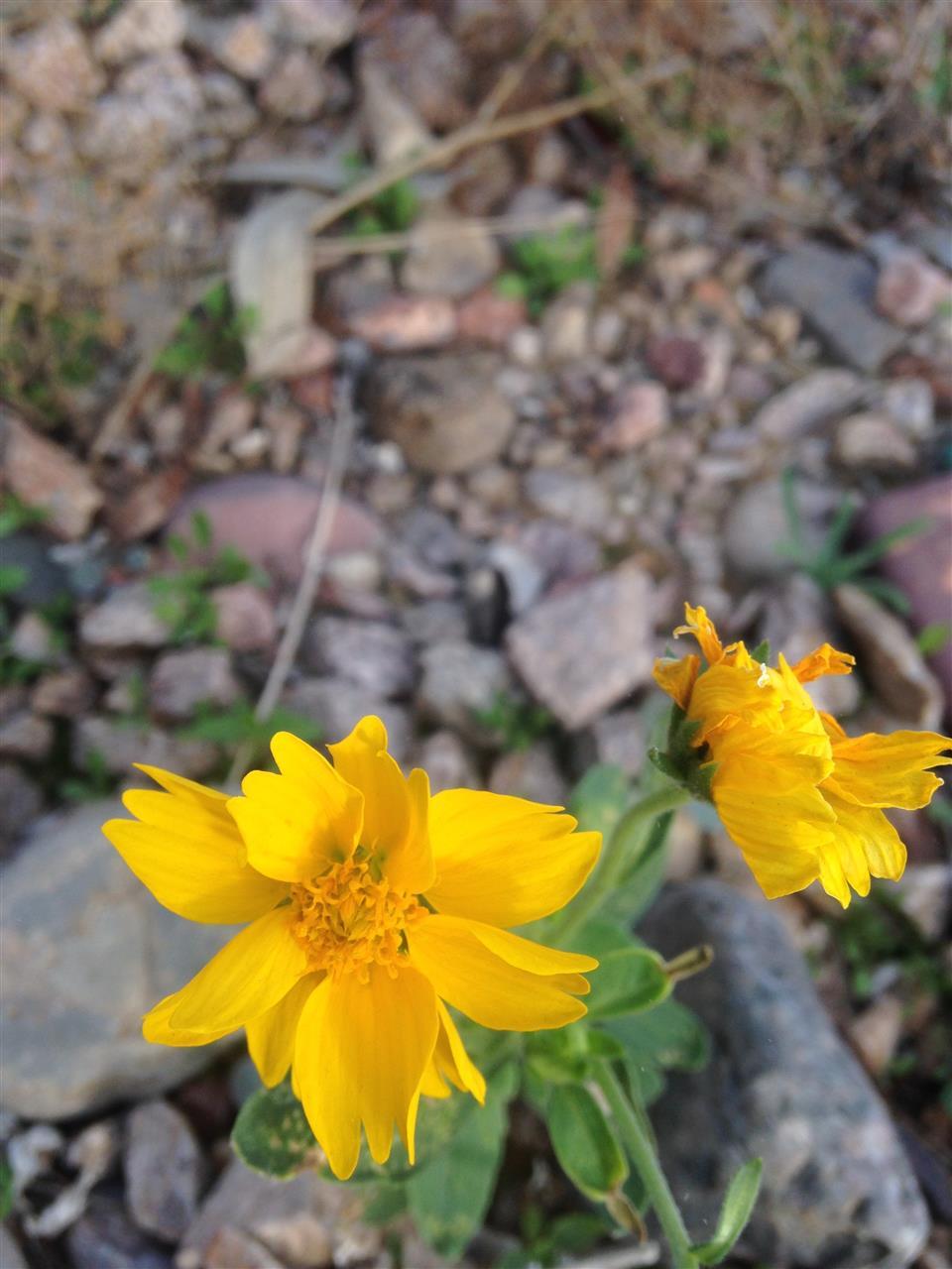 wild flowers Scottsdale AZ