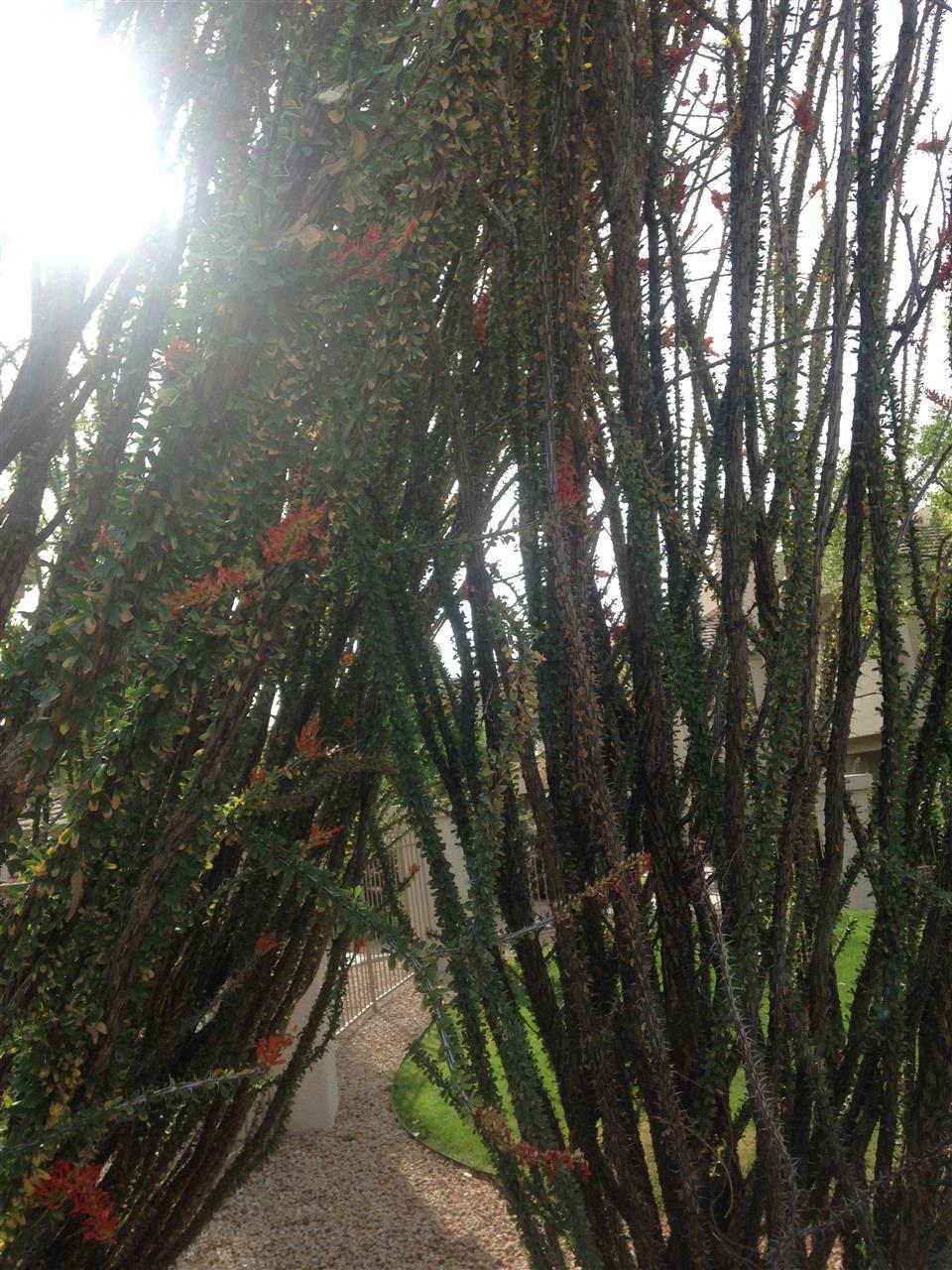 Ocotillo Cactus Scottsdale Az