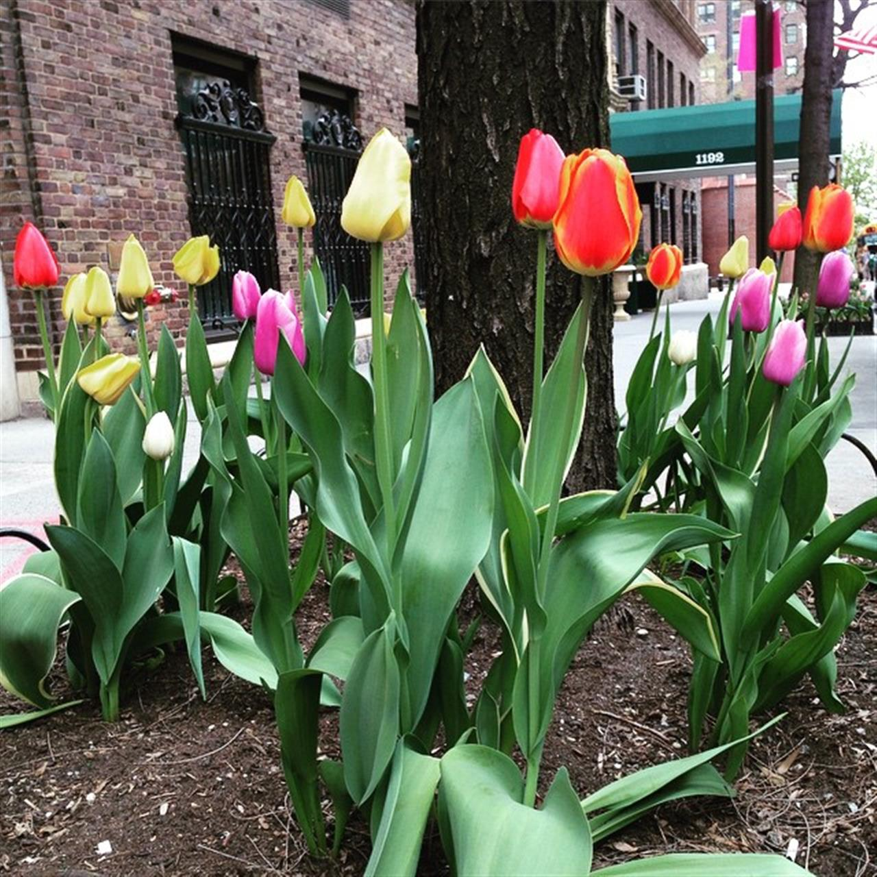 I have always loved tulips. When they pop up in their flower beds along Park Avenue in Carnegie Hill, it's a sure sign of spring.  Happy May!  #LeadingRElocal #ExploreYourHood #UpperEastSide #CarnegieHill #NYC #realestate