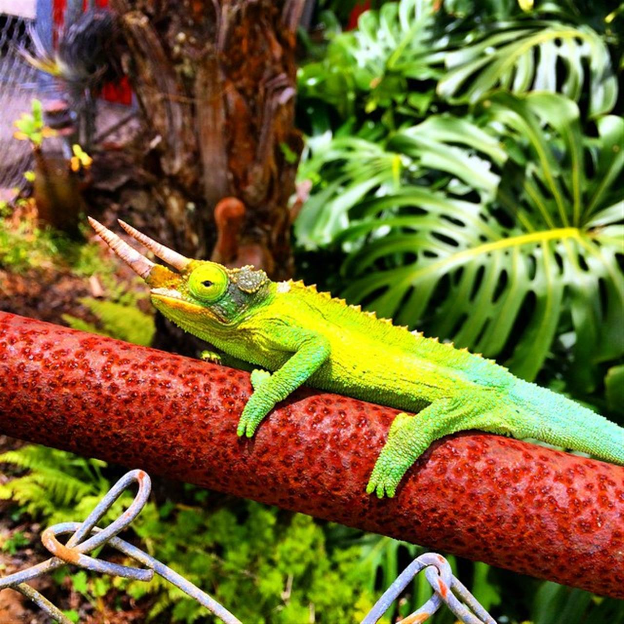 Meet Jack! He's so friendly! #jacksonchameleon #unclebuzzyshulastudio #waimea #beemary #beingbrooke #leadingRElocal