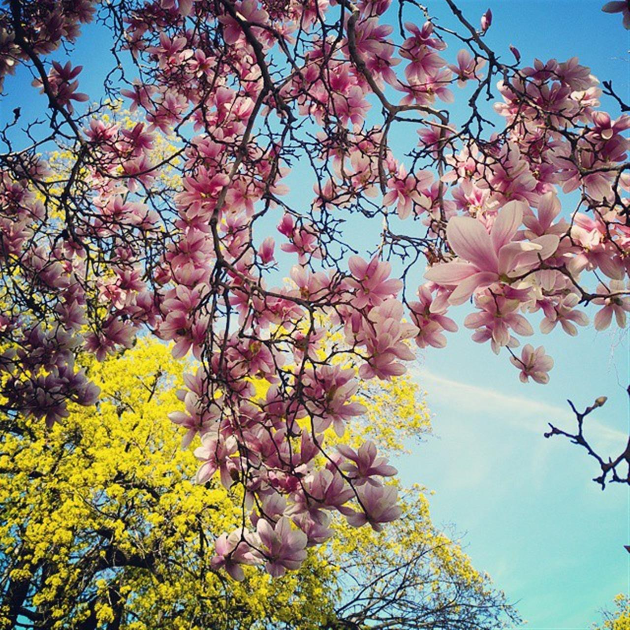 #spring #nature #cherryblossoms #pink #yellow #color #roc #rochesterny #roctopshots #tree #blueskies #leaves #beauty #leadingrelocal
