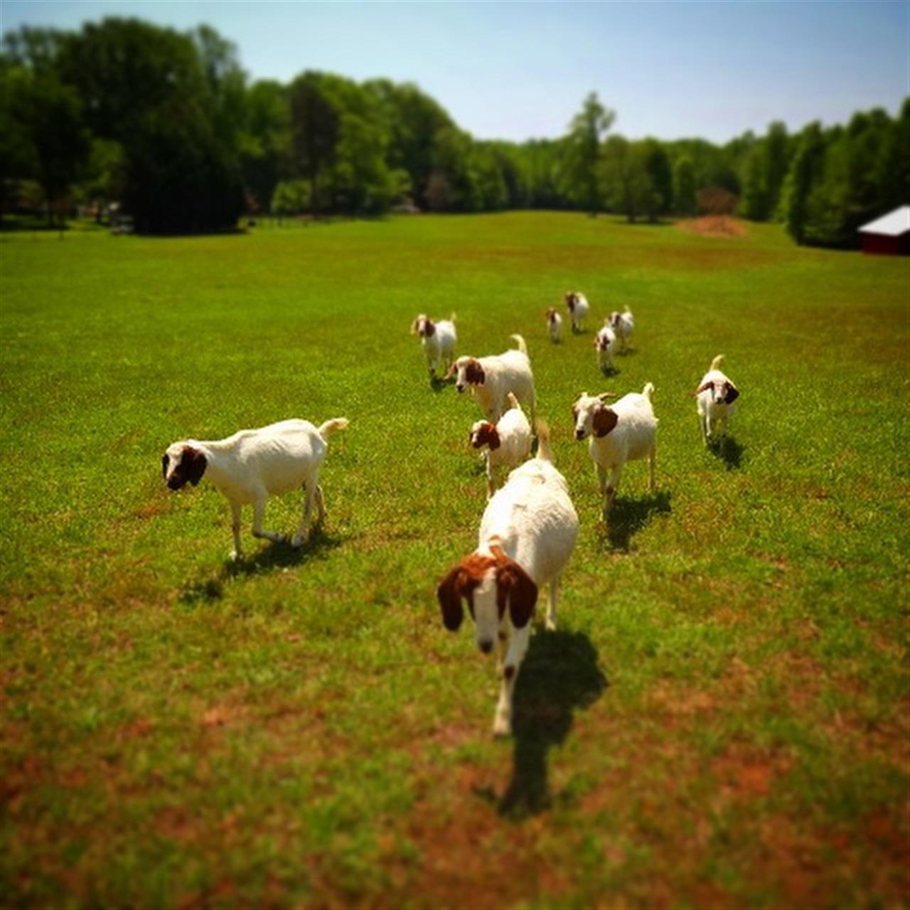 Lucky farm babies! #goatsconvey! #Pfafftown #LeadingRElocal