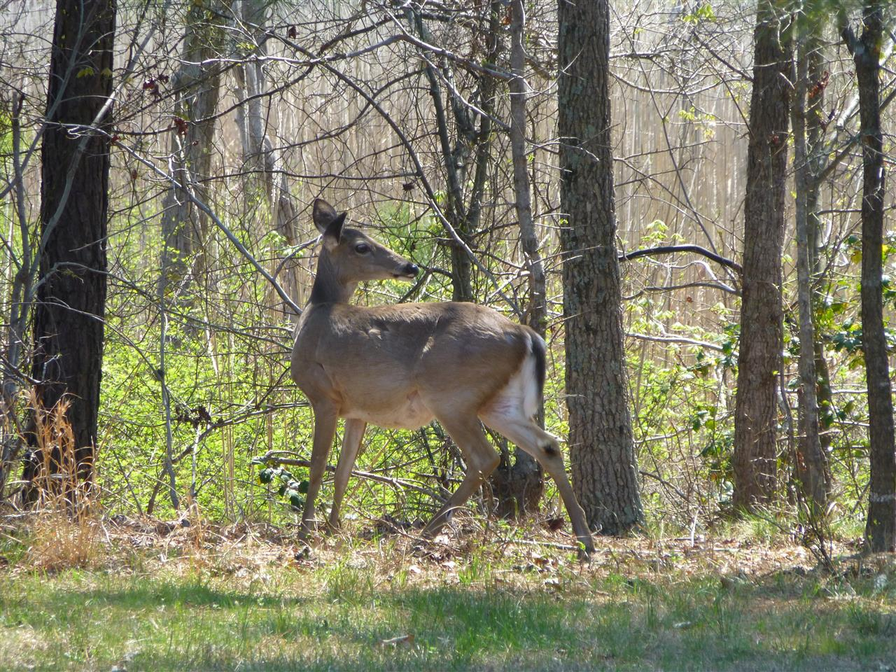 A deer in the woods just off the Bike trail Governors Land Williamsburg, VA