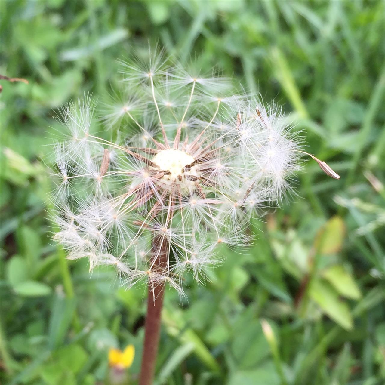 Dandelions, a sure sign spring has come to town ~ Birmingham, Michigan #LeadingRElocal #Birmingham #Michigan