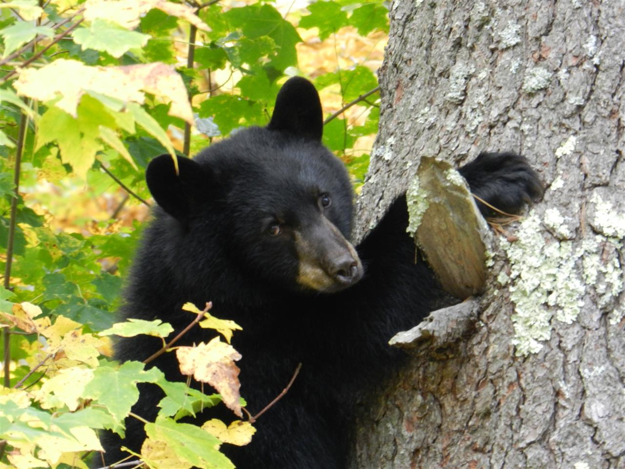 #Bartlett #New Hampshire #Black Bear Common and exciting... the sighting of the black bear is always a treat.