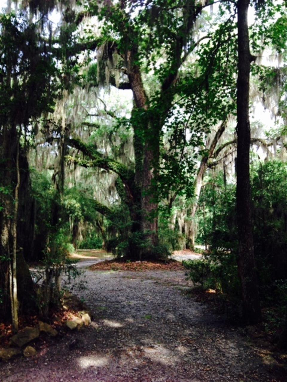 Darien beautiful moss covered trees