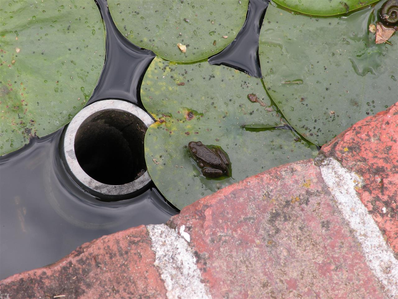 Little frog on lily pad at Ladew Topiary Garden, Monkton, MD