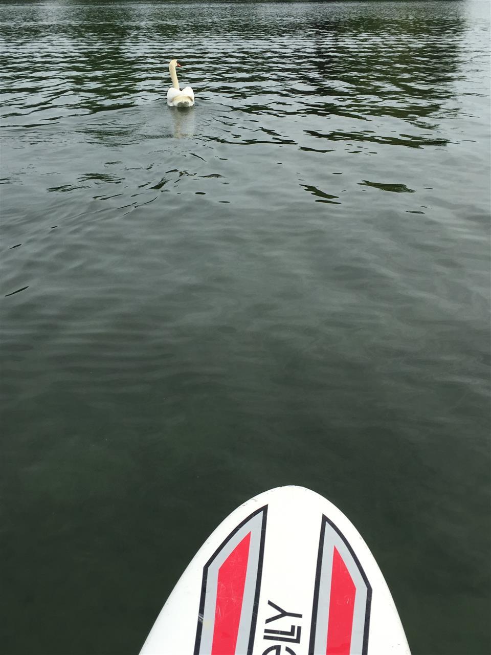 Paddle boarding past the swans. Orchard Lake, Michigan #LeadingRElocal #OrchardLake #Michigan