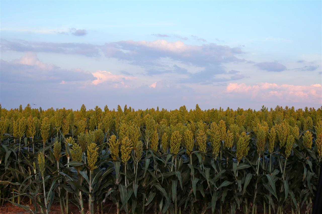 Grain sorghum, sunflowers, and grapes flourish in the semi-arid climate