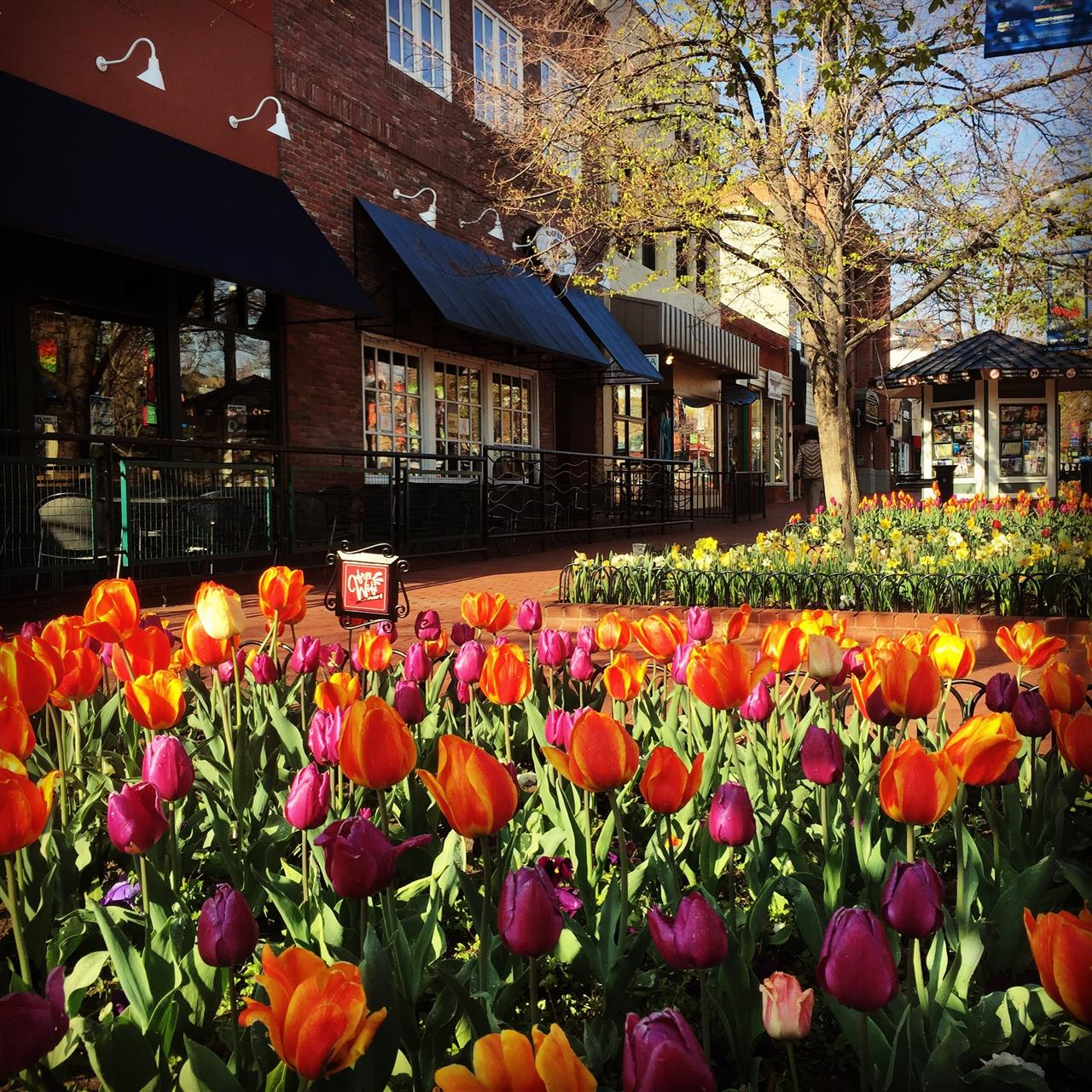 Pearl Street Mall Spring Tulips, Boulder, CO