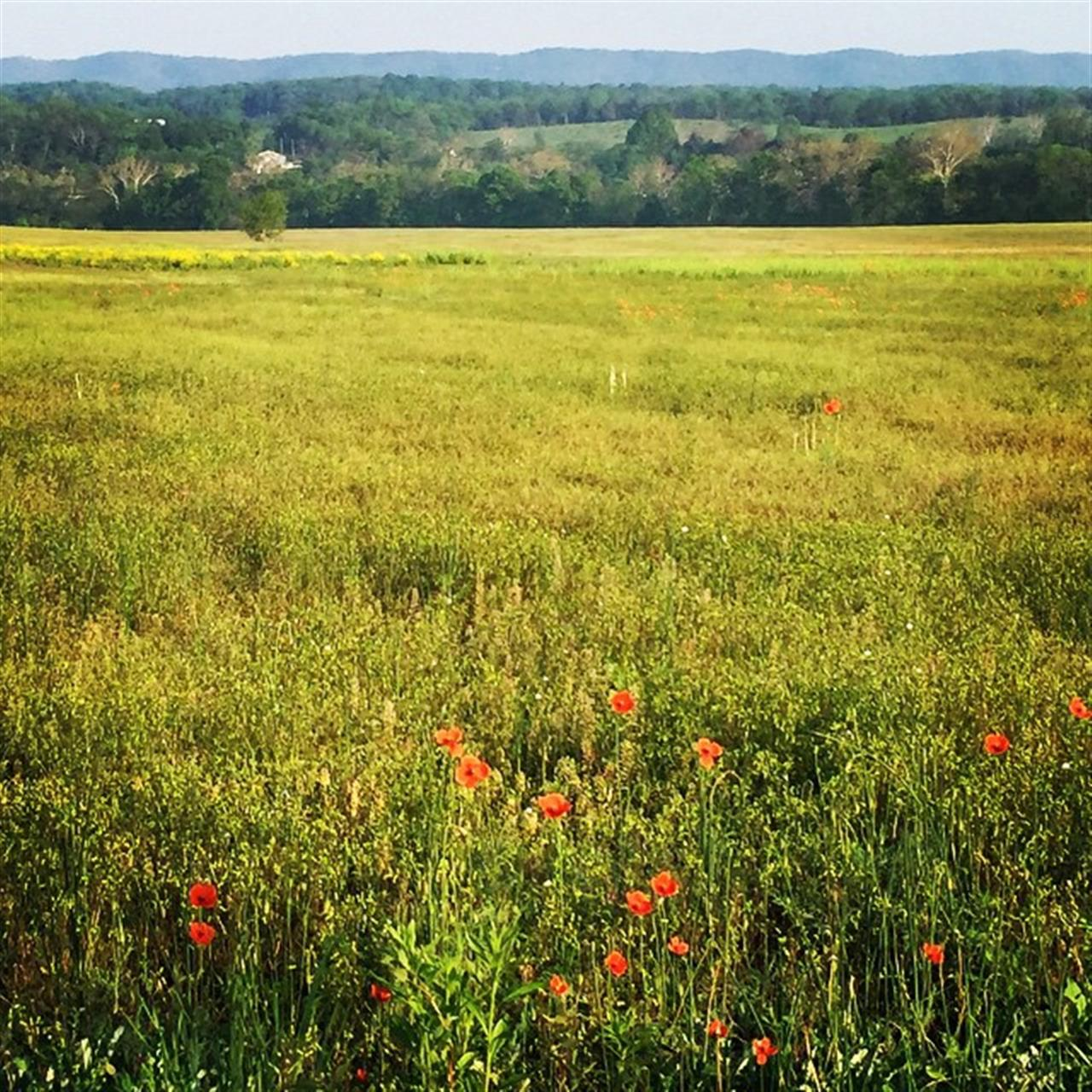 Field of Poppy's - Strasburg, va