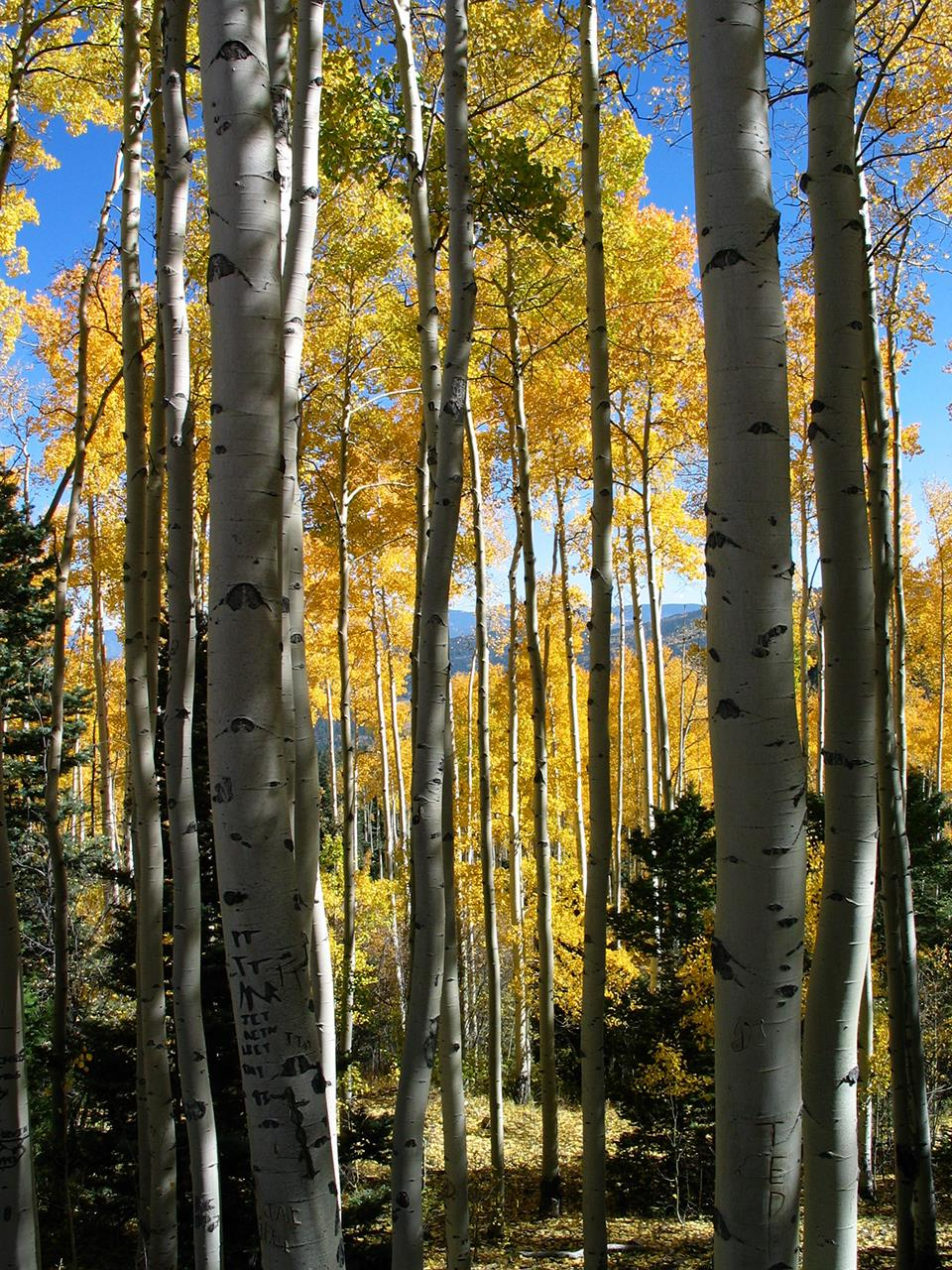 #Taos attraction #Taos #New Mexio #Fall Color #Carson National Forest
