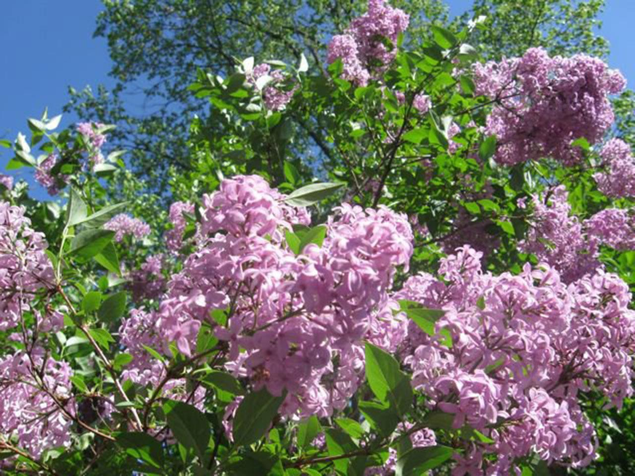 #Taos attractions #Lilac Festival #Taos #New Mexico