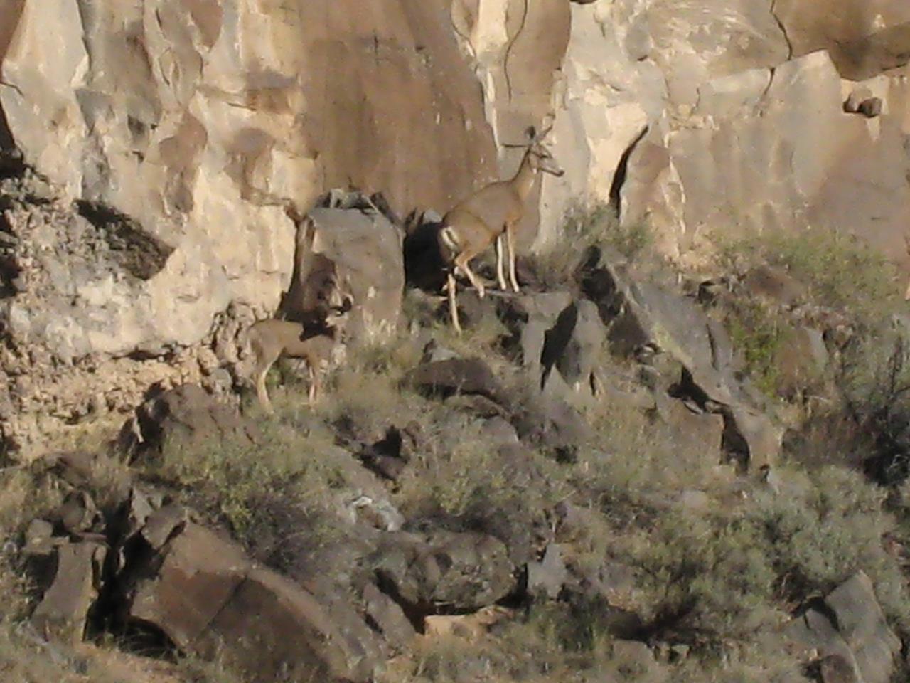 #Taos recreation #wildlife #mule deer #Rio Grande Gorge #Taos #New Mexico