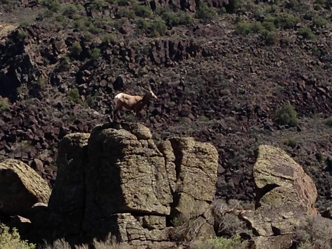 #Taos recreation #wildlife #big horn sheep #Rio Grande Gorge #Taos #New Mexico