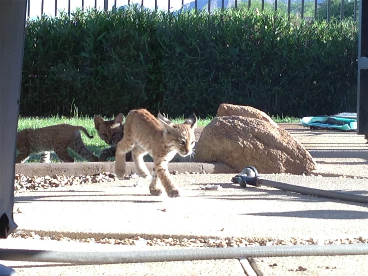 McDowell Mountain Preserve, Scottsdale, AZ  Daily, Wildlife visits neighbors who live in a nature preserve. A mother bobcat gave birth to triplets in the backyard and we watched as they played and learned to hunt.