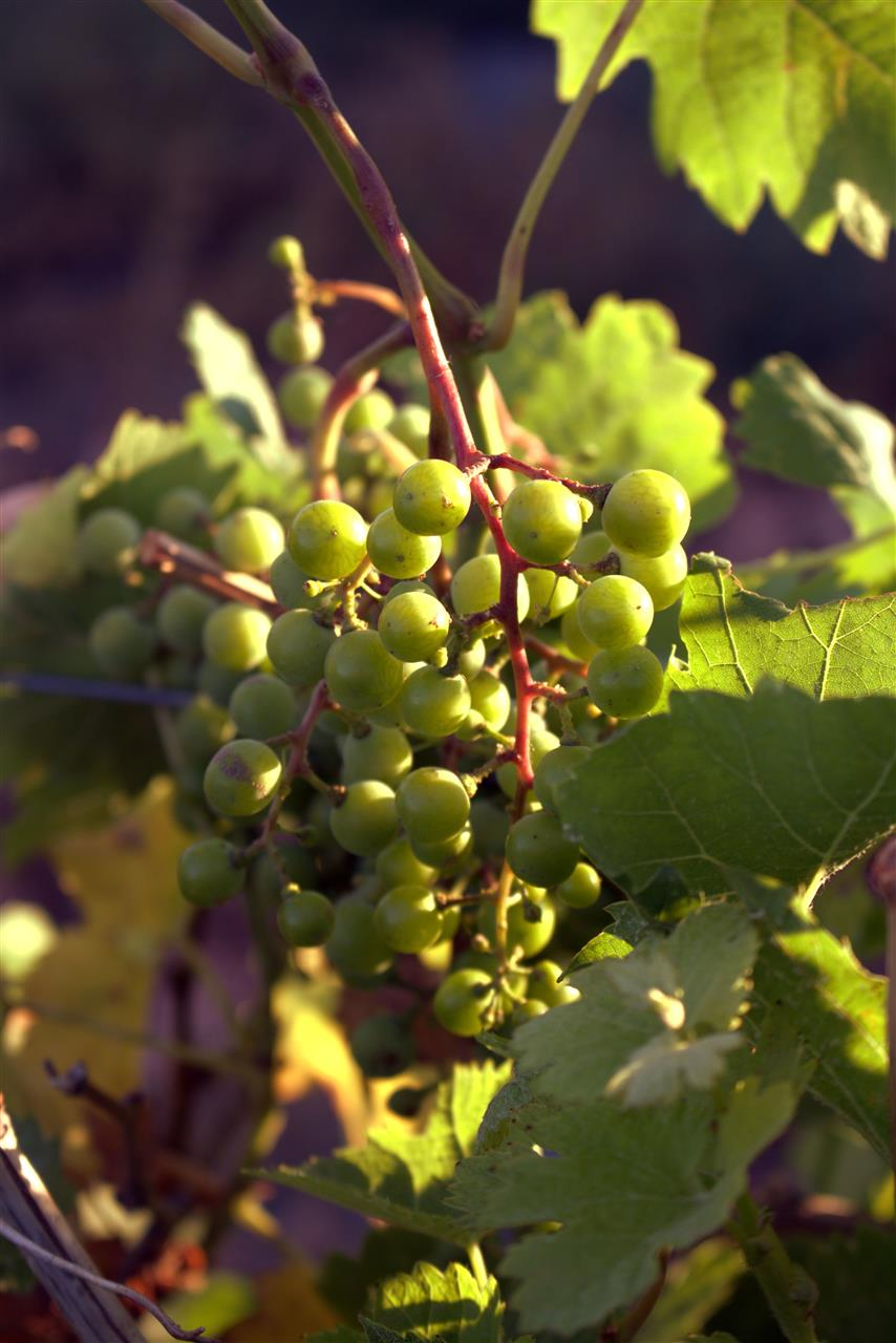 #WineGrapes #Winery #TriCities #Washington #ColumbiaRiverWineries