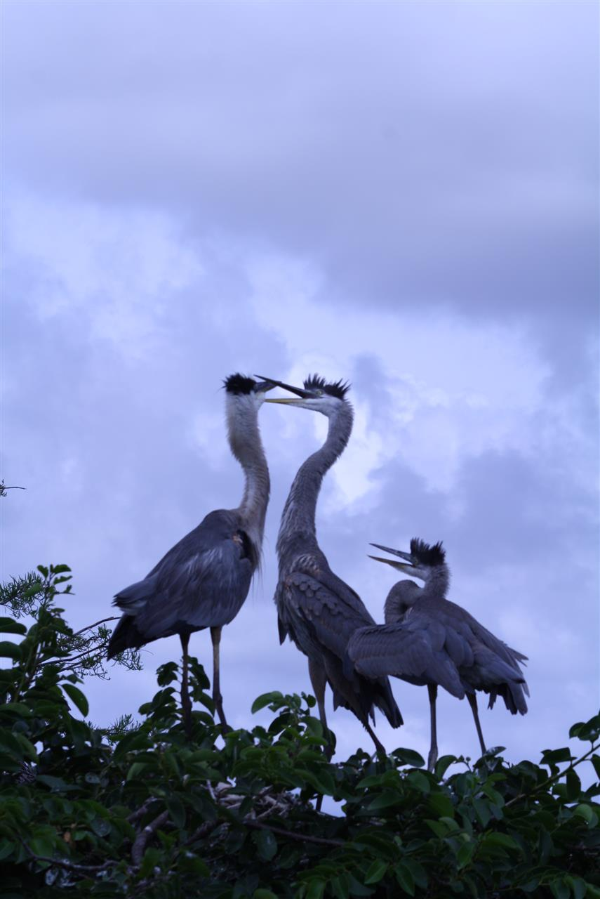 #LeadingRELocal #soflo Wakodahatchee Welands Park, Boyton Beach, Nesting Great Blue Herons