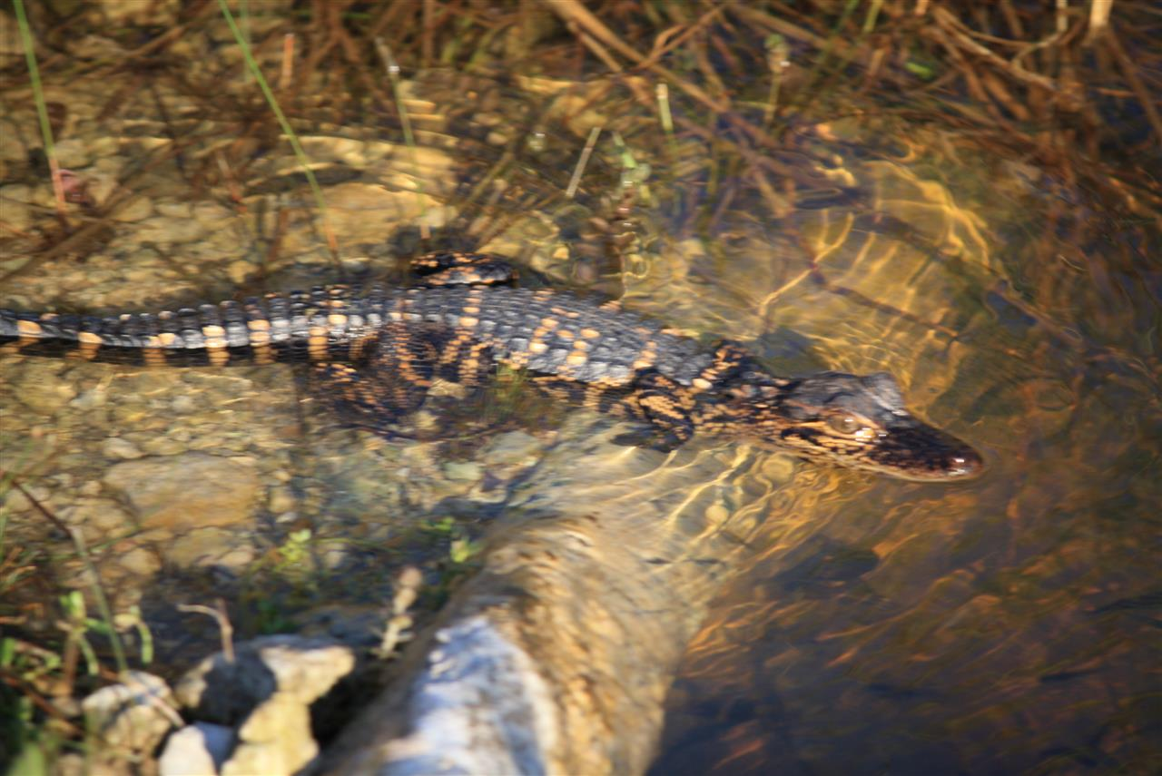 Baby Gator, Everglades National Park #LeadingRELocal #soflo