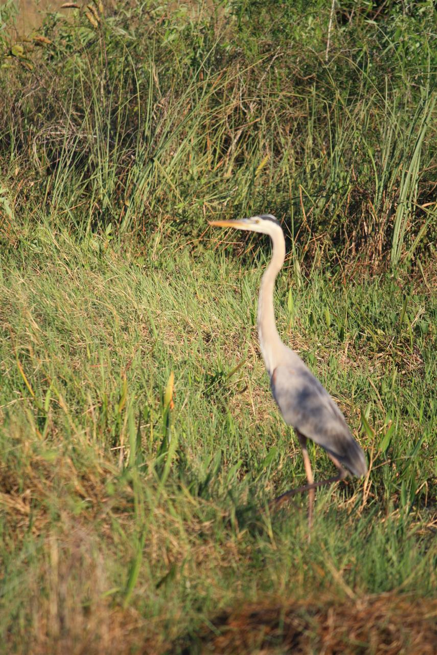 Great Blue Heron, Everglades National Park, #LeadingRELocal #soflo
