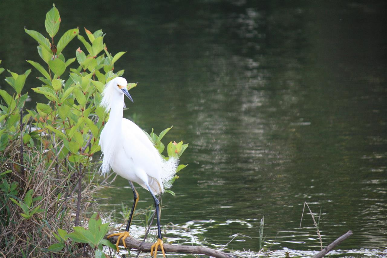 #LeadingRELocal #soflo Snowy Egret, Everglades National Park