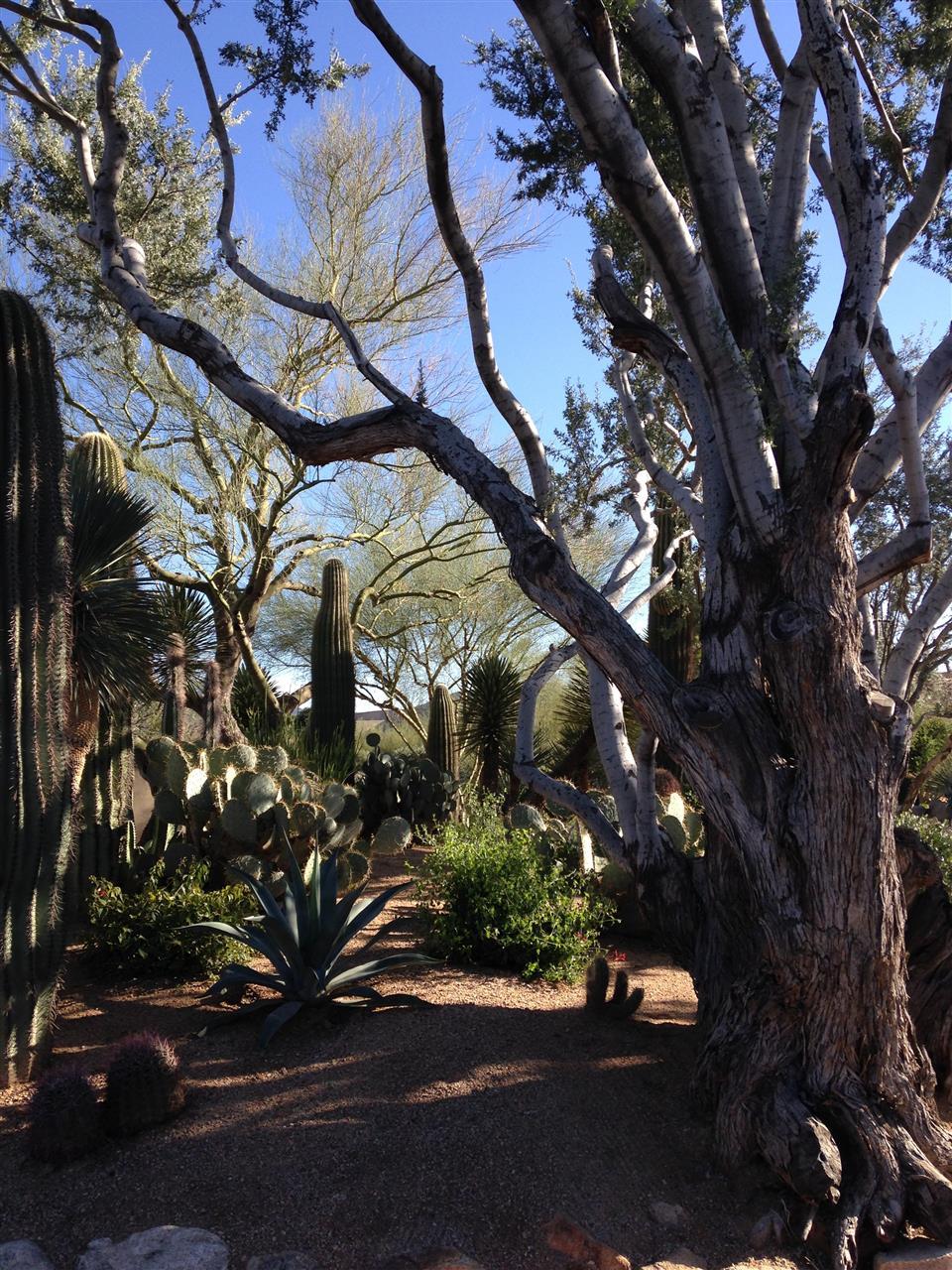 A stately ironwood tree guards the desert in Desert Highlands, Scottsdale, AZ.