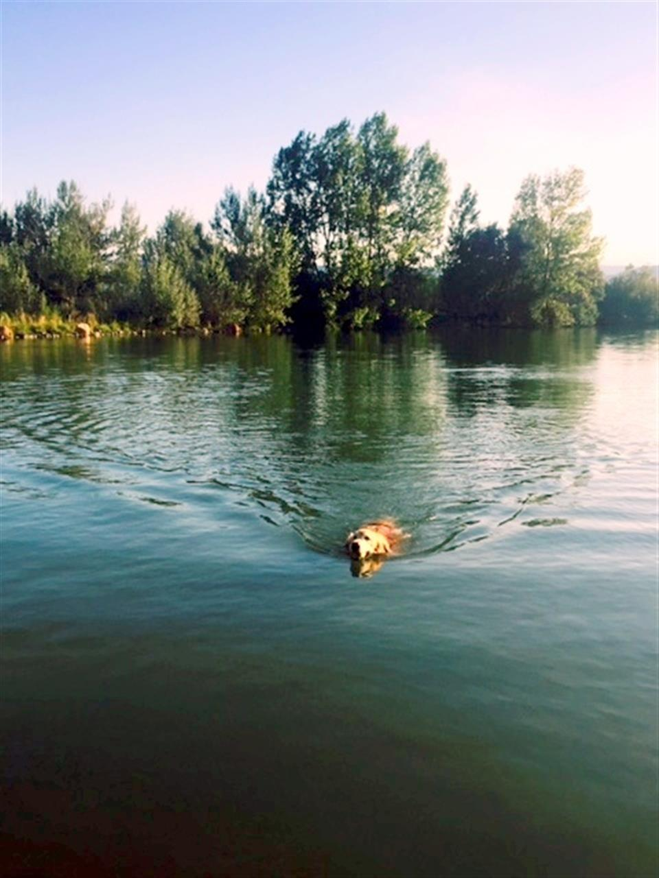Coot Lake is a popular place for people to let their dogs swim. This is Sunny, my 10 yr old Golden Retriever.