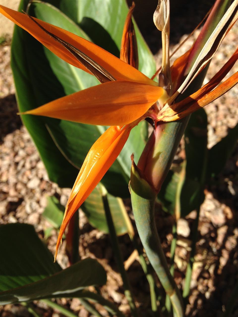 Bird of PAradise Paradise Valley AZ