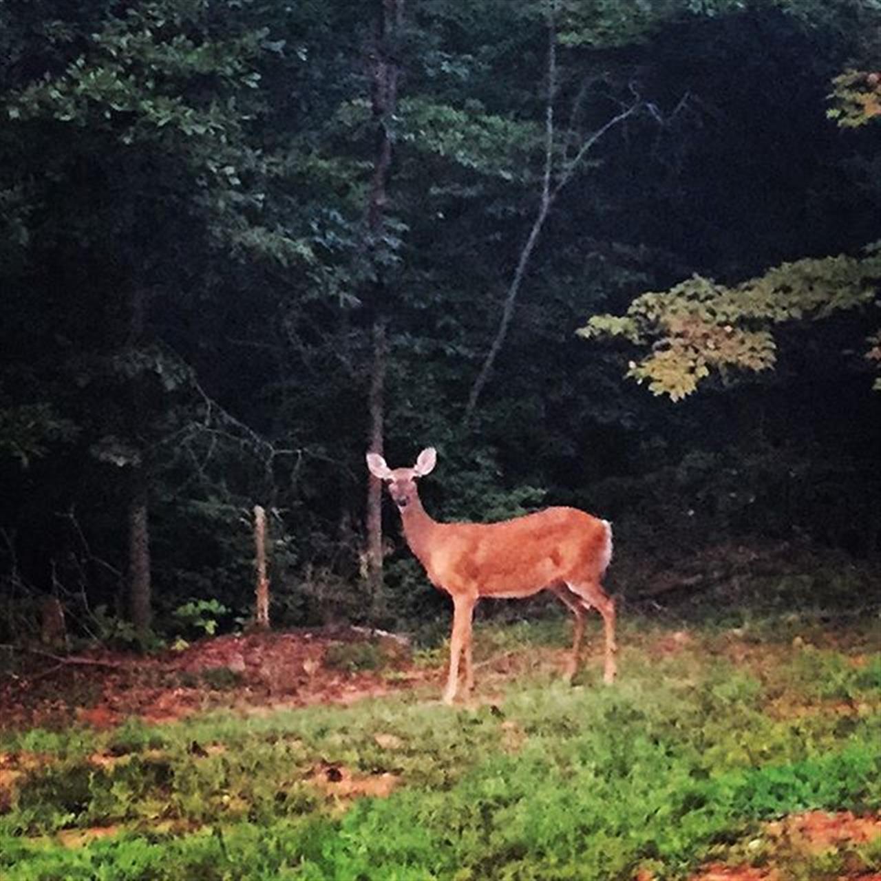 Deer in Gainesville GA neighborhood