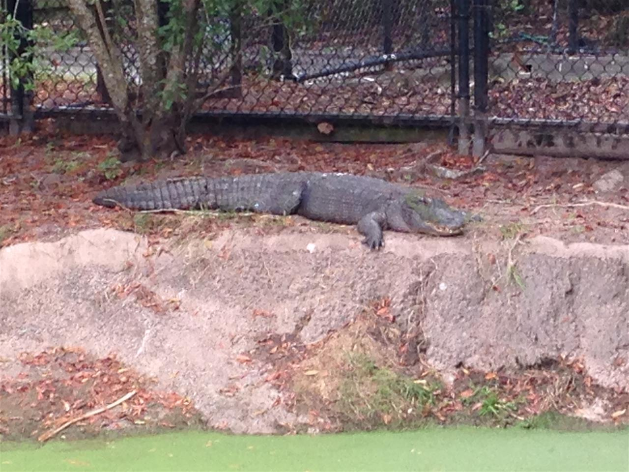 American Alligator #leadingrelocal #jaxzoo #gogators