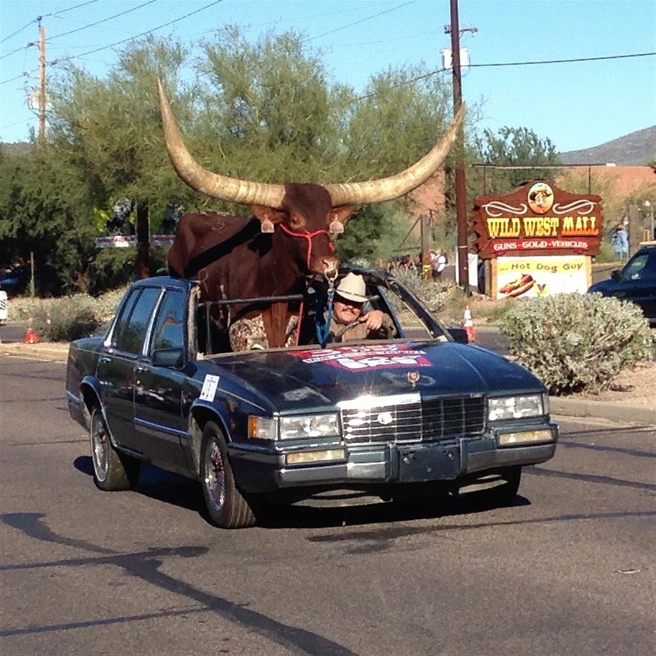 A car full of Bull  Wild West Days Parade Cave Creek #Phoenix#Arizona