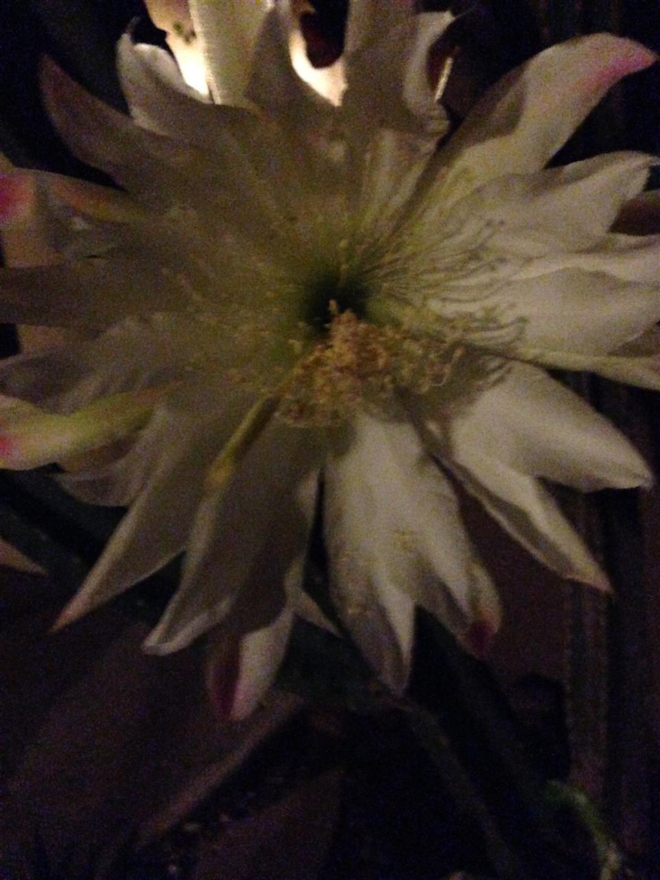 Cactus Flower Phoenix AZ