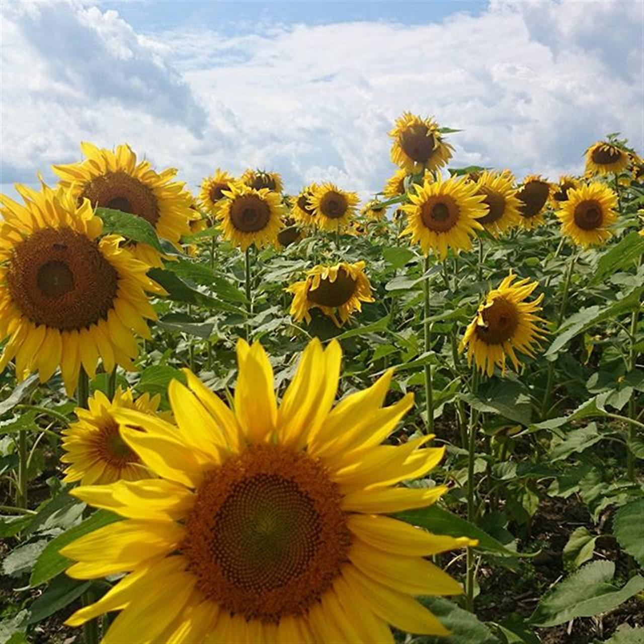 #Ithaca #sunflowers
