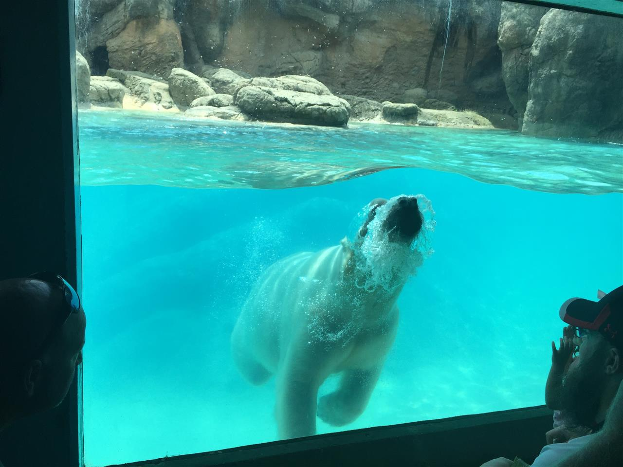 Polar Bear NC Zoo