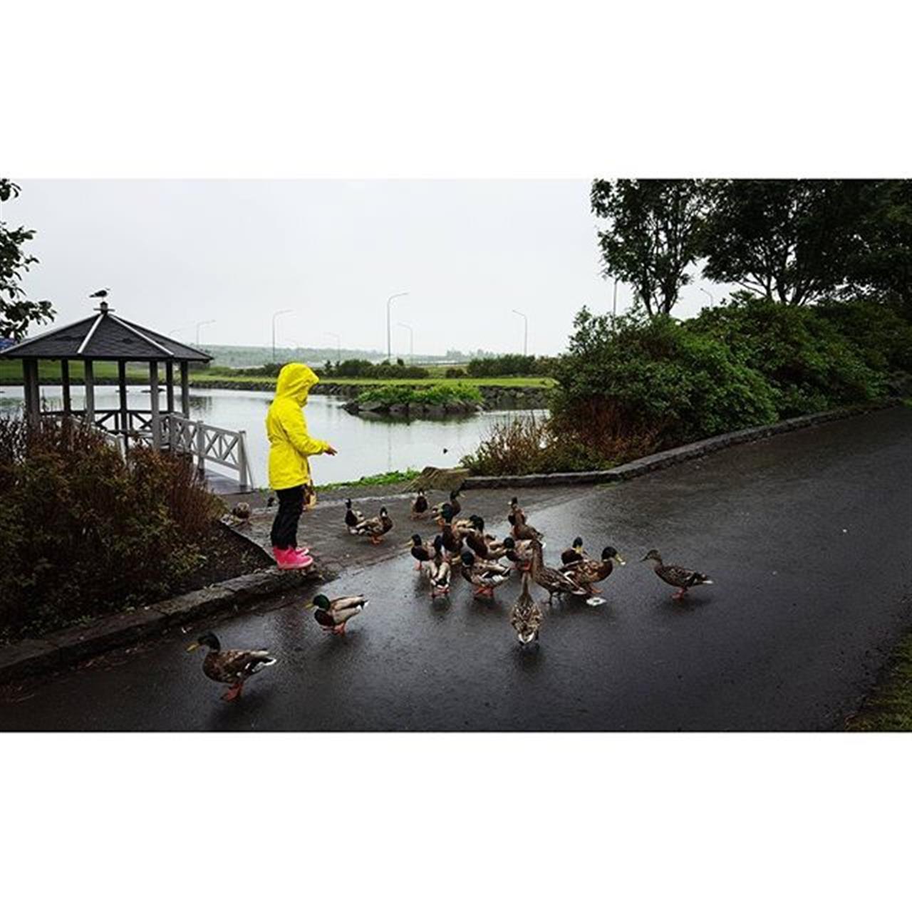 Skruppum niur ß K¾pavogstj÷rn. Gµsirnar voru ¾venju spakar. Feeding the birds, could almost pet them. #k¾pavogur #k¾pavogstj÷rn #pond #fuglar #fugl #fuglalif #birds #nature #nattura #living #fun #leadingrelocal #leadingre