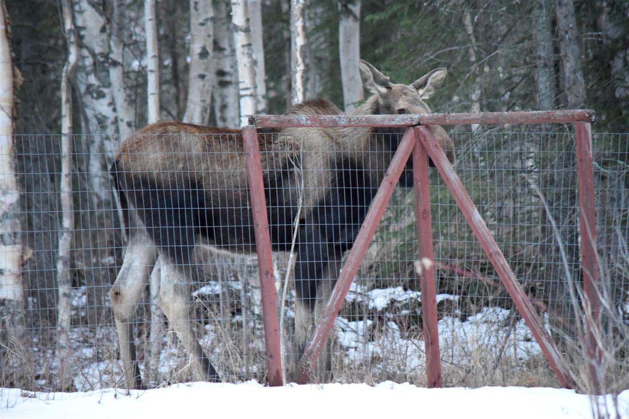 Back yard visitor ... Mama Moose. Wasilla, Alaska