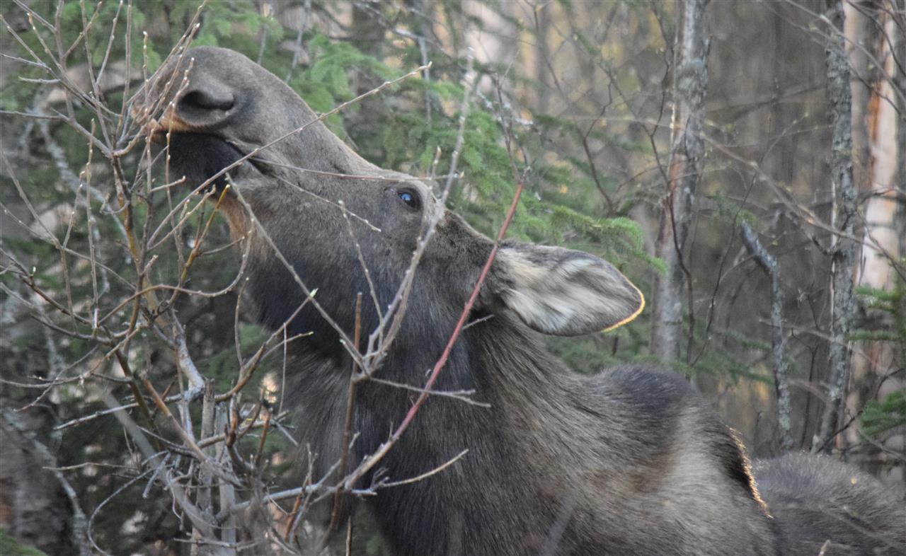 Back yard visitor - Mama Moose having a snack! Wasilla, Alaska