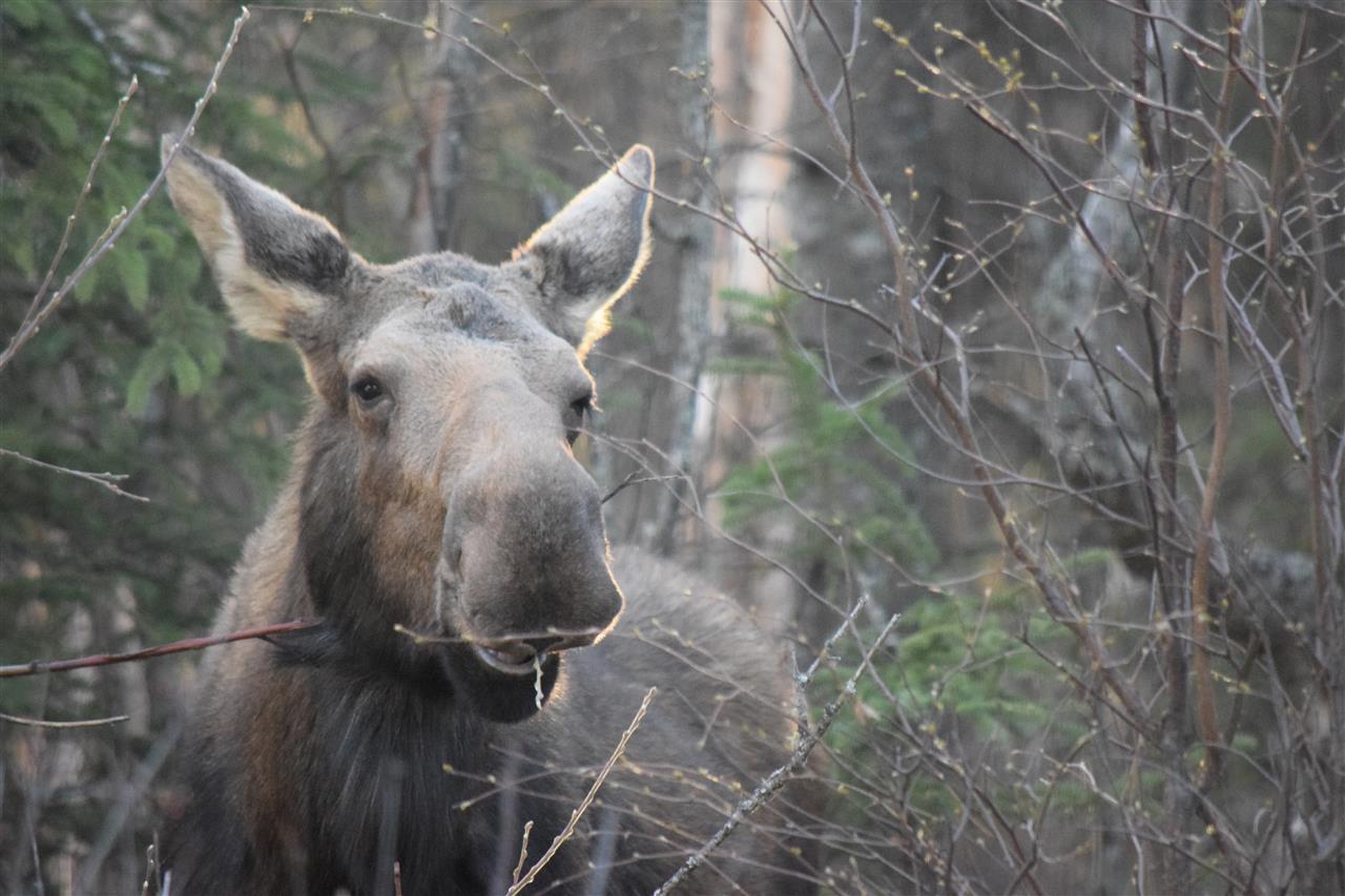 Back yard visitor, Mama Moose saying hello over the fence. Wasilla, Alaska