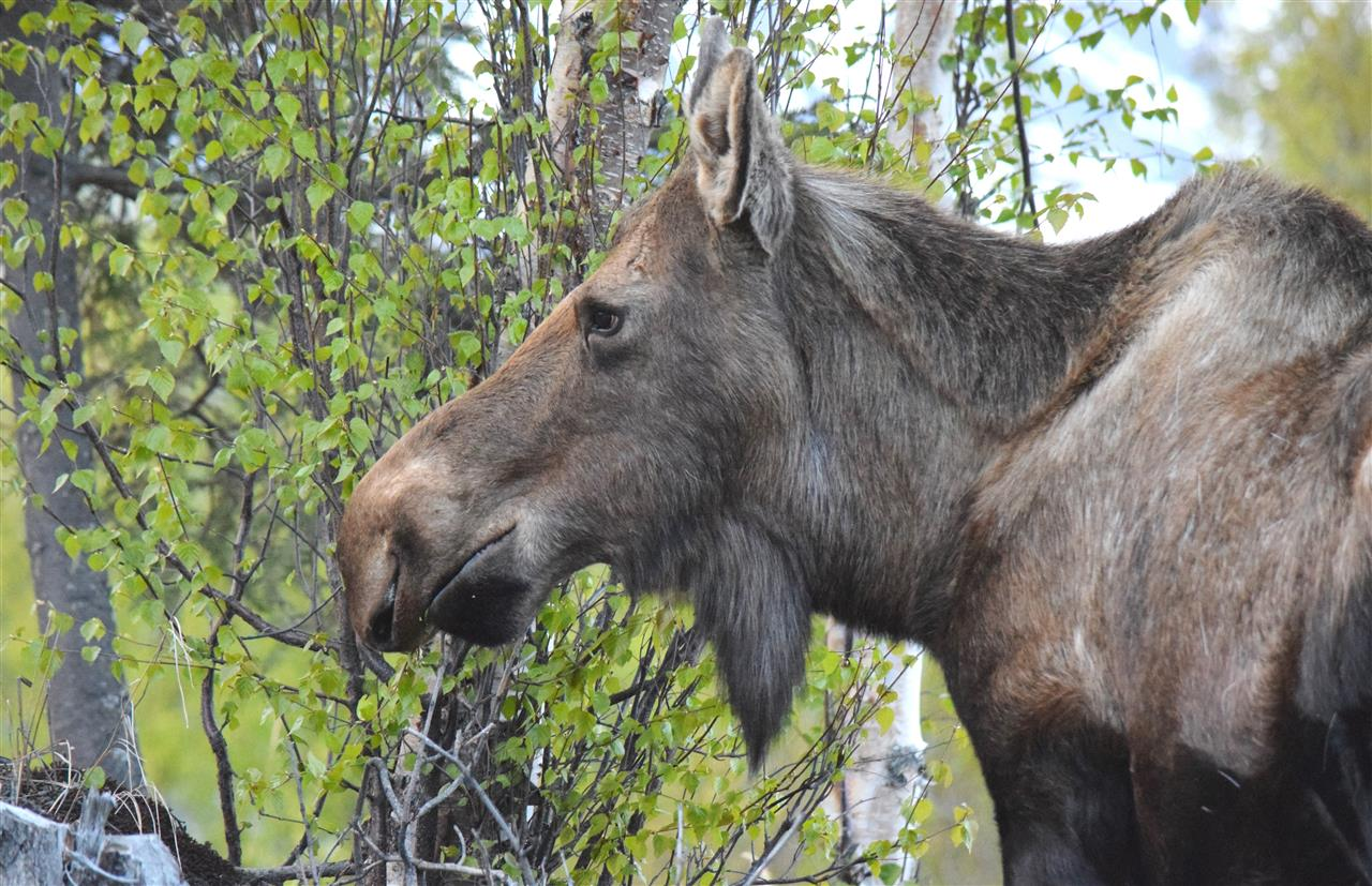Mama Moose having dinner in Palmer, Alaska while her 2 year old runs around behind her burning off energy!